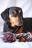 Dax and his rope Royalty Free Stock Photos