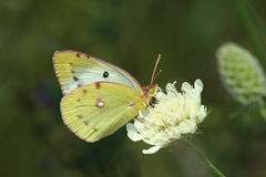 Day Butterfly (Colias Hyale) Royalty Free Stock Photos