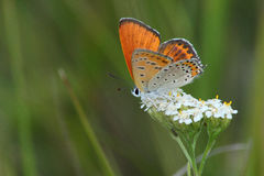 Day butterfly (Heodes dispar) Stock Photos