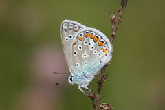 Day butterfly (Lycaena icarus) Stock Image