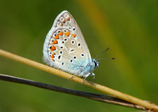 Day butterfly (Lycaena icarus) Royalty Free Stock Photography