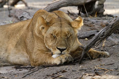 Day Dreamer II. Lions are an apex predator, with the lionesses doing the killing. Male Lions only bring down elephants as they have the extra strength needed Royalty Free Stock Image