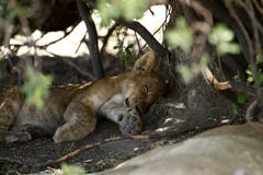 Day Dreamer. A lion cub sleeping. Lions are a nocturnal species, hunting at night Stock Photography