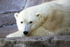 Day Dreaming Bear. Polar Bear Napping on a rock Royalty Free Stock Photo
