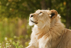 Day Dreaming Lion. Male Lion in a day dreaming look stock photo