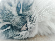 Day dreaming Ragdoll cat. Facial Close up of Pedigree Ragdoll seal lynx cat laying on wooden table day dreaming Stock Photo