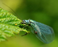 Day fly Ephemeroptera in the green Stock Image