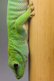 Day gecko Royalty Free Stock Image