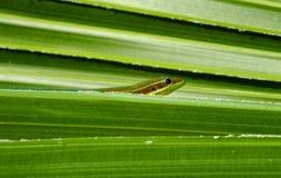 Day Gecko Stock Photos