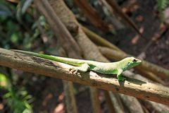 Madagascan day gecko on a branch stock images