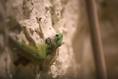 Day gecko (Phelsuma madagascariensis) sitting on a chalk wall Stock Photography