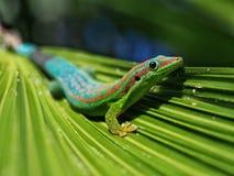 Day gekko close-up. Macro of gecko in natural habitat stock photography