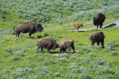 A day in the life of a Bison. Royalty Free Stock Photography