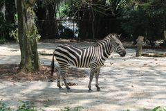A day in the life of zebra, Singapore Zoo. Animal background Stock Image