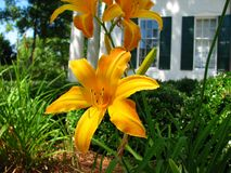 Day lilies. Yellow and bronze day lilies with home in background Stock Images
