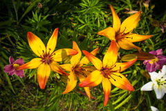 Day Lilies. Japanese Day Lilies stock image