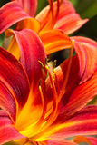 Day lilies in summers un Stock Images