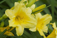 Day Lillies Basking in the Afternoon Sun. Beautiful group of day lilies basking in the afternoon sun Stock Images