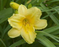 Day Lillies Blooming in the Afternoon Sun. Beautiful group of day lilies basking and blooming in the afternoon sun Stock Photos