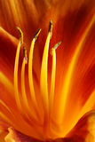 Day lilly Royalty Free Stock Photos