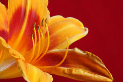Day lilly Stock Photography