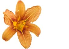 Day Lily. Orange day lily flower isolated on white background Royalty Free Stock Image