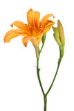 Day-lily. Flower isolated on white Stock Photography