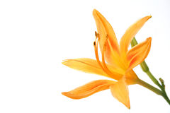 Free Day Lily Stock Image - 15164151