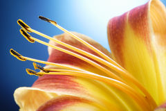 Day lily Stock Image