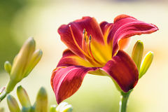 Day-lily Stock Images