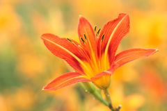 Day lily. The close-up of day lily flower Stock Photography
