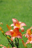 Day-Lily Royalty Free Stock Images