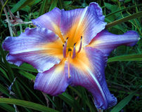 Day Lily Stock Photo