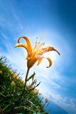 Day Lily And Sunny Sky Royalty Free Stock Photo