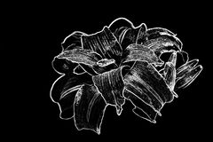 Day Lily in Black and White. Black and white illustration of day lily royalty free stock photo