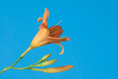 Day lily blooms against a blue sky. Day lily flower blooms against a blue sky in Summer Stock Photo