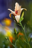 Day lily blossom Stock Photo