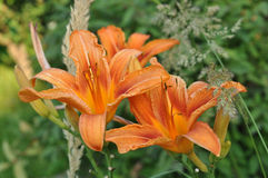 Day-Lily is a blossoming. Orange Royalty Free Stock Photo
