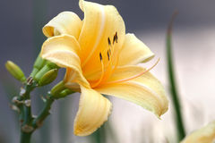 Day lily bush Stock Photos