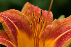 Day Lily stock photos
