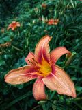 Day Lily. A closer look stock photo