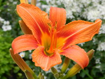 Day-lily. Daylily bloom in the garden Royalty Free Stock Photo