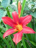 Day-lily. Daylily bloom in the garden Royalty Free Stock Photos