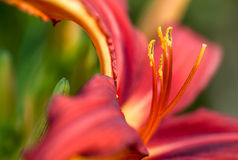 Day lily flower Stock Photo