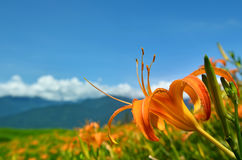 Day Lily Flowers reaching for sky Royalty Free Stock Photos