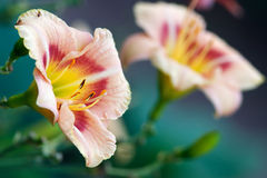 Day lily in garden Royalty Free Stock Images