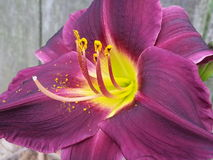 Day Lily Luv Stock Photo