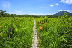 Day lily of marsh Royalty Free Stock Image