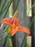 Day lily. My favorite flower in my backyard garden Stock Photos