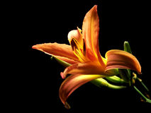 Day Lily Opening 2 Royalty Free Stock Photos